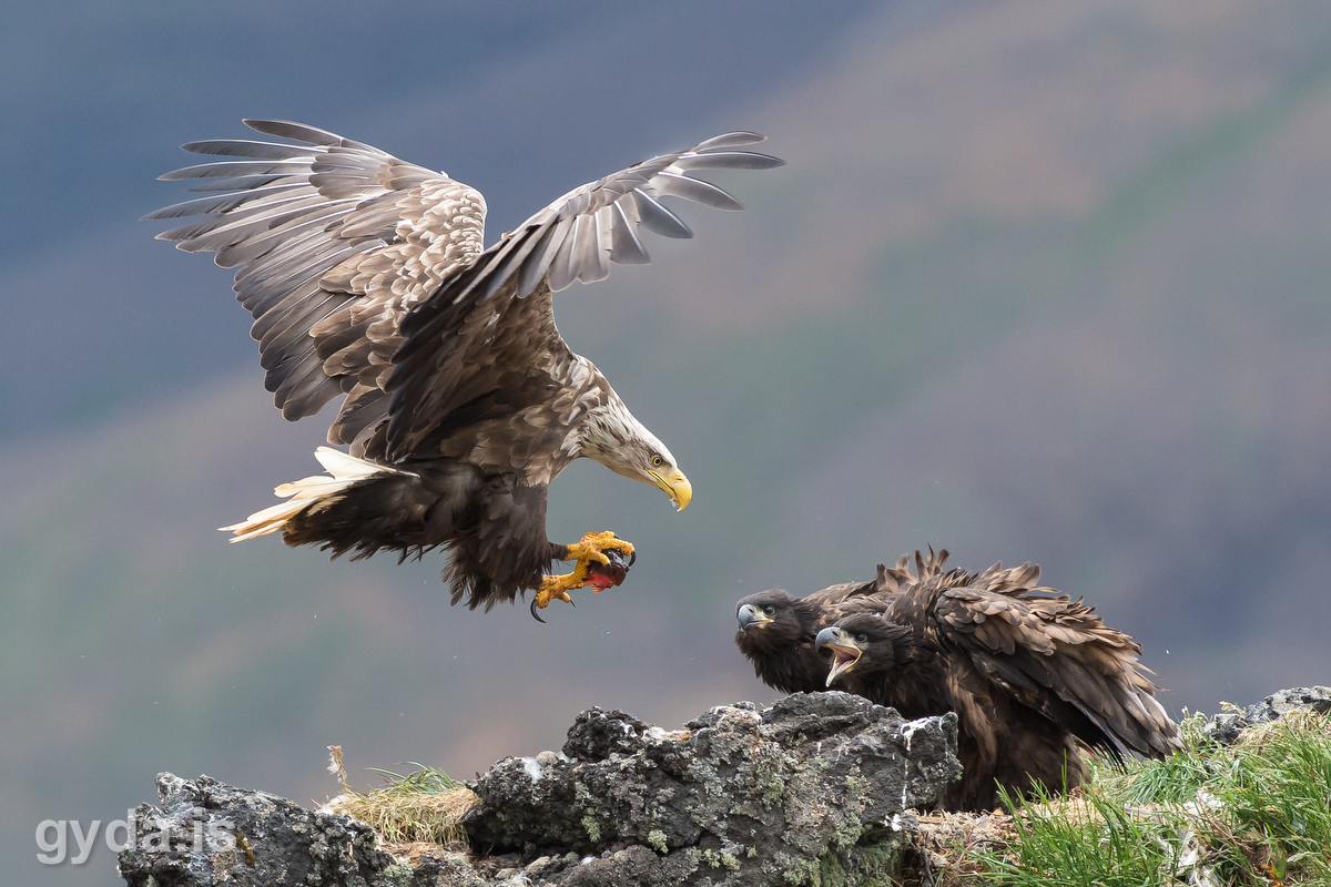 Sea Eagle landing at the nest with alive lumpfish. (c) Gyda.is